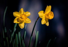 chasing the sun (JimfromCanada) Tags: daffodil flower sun sunny spring warm light two duo pair couple yellow vibrant face garden contrast color colour