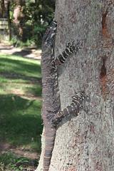 Goanna, Ellenborough falls (cathm2) Tags: australia nsw ellenborough falls nature travel goanna wildlife lizard