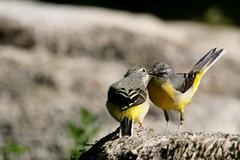 bergeronnette des ruisseaux ( Motacilla cinerea ) Brech 17042o2 (papé alain) Tags: oiseaux passereaux motacillidés bergeronnettedesruisseaux motacillacinerea greywagtail brech morbihan bretagne france