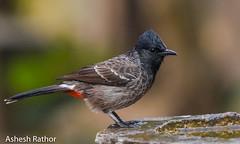 Red vented bulbul (asheshr) Tags: 200500mm beautifulbird bird birds birdsofindia birdsofodisha birdsoforissa bulbul nikkor200500 nikon nikond7200 redventedbulbul