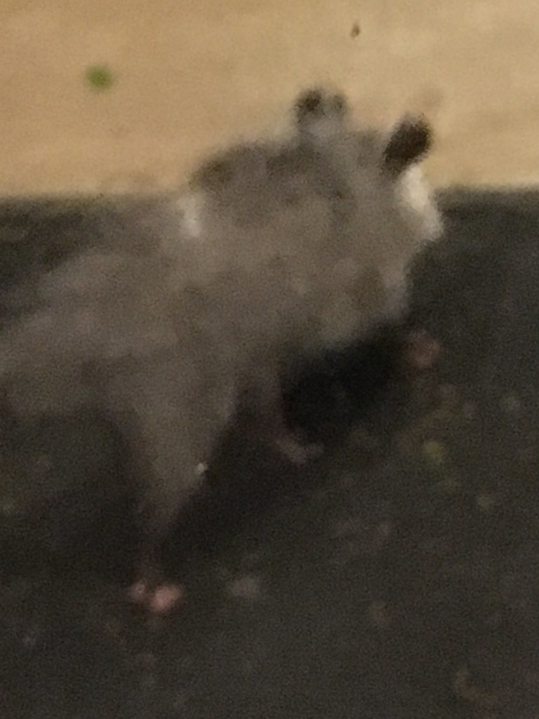 the world u0027s most recently posted photos of opossum and possum