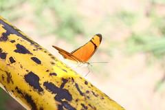 Borboleta bairro São João JM - Wir Caetano - 26 04 2017 (25) (dabliê texto imagem - Comunicação Visual e Jorn) Tags: borboleta inseto amarelo escada ferrugem