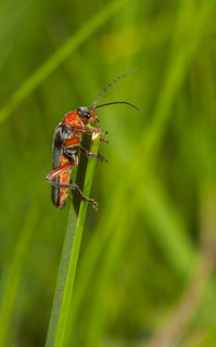 Cantharis