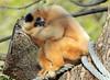 white cheeked gibbon artis BB2A4737 (j.a.kok) Tags: mensaap aap ape mmammal zoogdier dier animal gibbon whitecheekedgibbon artis asia azie