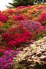 笠間つつじ公園2 Kasama Azalea Park 2 (Shutter Chimp: Im back!) Tags: kasama 笠間 茨城 ibaraki 日本 japan flower 花 azalea つつじ 白い 赤い パープル ピンク white red pink purple