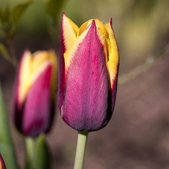 Dunkelrote Tulpe mit gelben Rändern - Dark red tulip with yellow fringes (riesebusch) Tags: berlin garten marzahn