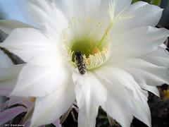 Buona colazione! (Paolo Bonassin) Tags: flowers cactaceae cactacee cactus succulente echinopsis