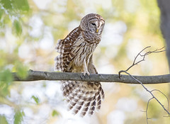 Streeeeetch... (DTT67) Tags: barredowl barred owl nature wildlife maryland raptors birds 500mmii canon 1dxmkii