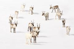 Reindeer (Blitzknips) Tags: sonya77 a77 alpha77 animal animals tiere tier rentier reindeer schnee snow norway norge norwegen nordkapp finnmark weis white mammal säugetier hirsch deer northernorway nordnorge skandinavien