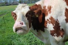 Delta Freedom (excellentzebu1050) Tags: dairycows cattle cow closeup animal animalportraits farm livestock field coth5