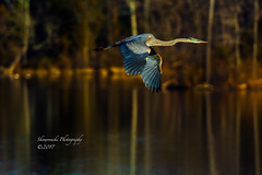 Early morning flighjt (Peter Skowronski) Tags: fineart vinthill landscape realhappiness birds fauquiercountyva heron lakebrittle wildlife