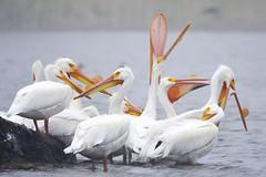 Pelicans Waking Up (Buzz Hoffman) Tags: americanwhitepelican minnesota windom bird