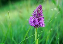 L'Orchis pyramidal (Anacamptis pyramidalis) - Malans (francky25) Tags: lorchis pyramidal anacamptis pyramidalis malans orchidée sauvage orchids franchecomté doubs flore