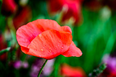 After Rain Poppies (NathalieSt) Tags: 003nature camargue coquelicot europe fleur france gard languedocroussillon coquelicots fleurs flower flowers nikon nikond750 nikonpassion nikonphotography pavotpoppy poppies poppy red rouge