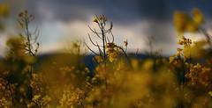 Sweetness (eliseroux1) Tags: photography nature beauty two tenderness softness fields flower yellow