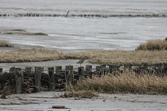 Rotschenkel (perspective-OL) Tags: stad stadland sehefelder moor schwimmendes national park nationalpark nordsee jadebusen watt watvögel sehestedt deich