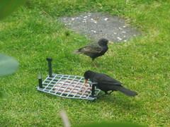 He got in at last (petelovespurple) Tags: food toast pate birds blackbird starlings