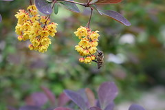 The sweet of flowers (fdlscrmn) Tags: faune nature bee dof 7dwf colorful flores plants lens nikkor