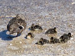 P5060111 (turbok) Tags: almsee bergsee entenundgänse landschaft stockente tiere vögel wasser wildtiere c kurt krimberger