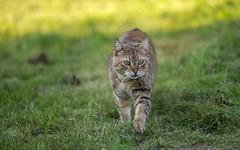 cat (16) (Vlado Ferenčić) Tags: catsdogs cats kittens kitty animals animalplanet podravina hrvatska croatia nikond600 sigma15028macro vladoferencic vladimirferencic