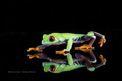 Red-eyed tree frog (Explored) (hehaden) Tags: amphibian frog redeyedtreefrog agalychniscallidryas reflection stretch stretching walk walking captivelight bournemouth