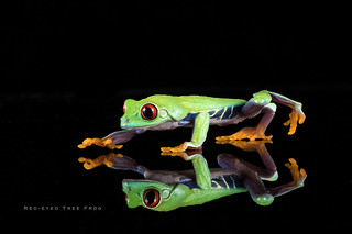 Red-eyed tree frog (Explored)