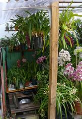 Cymbidium shed re-do (nolehace) Tags: spring nolehace fz1000 417 sanfrancisco flower bloom plant shed redo cymbidium