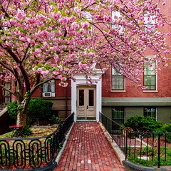 Back Bay Cherry Blossoms ((Jessica)) Tags: garden tree blossom flower flowers pink brick cherry cherryblossoms cherrytree backbay boston newengland massachusetts historic sony rx100 square walkway door