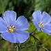 Blue+Flax+Flowers