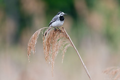 White Wagtail  - Bachstelze (CJH Natural) Tags: wagtail whitewagtail reed sit perch bokeh reedbed bachstelze stelze nikon d500 nikond500 telephoto 200500mm edvr nikkor natural nature outdoor outdoors animal wild wildlife bird vogel wing feather avian remerschen flycatcher christopherharrisorg