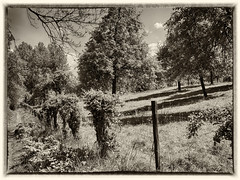 Orchard (enneafive) Tags: oldstyle orchard bw olympus omd em5 trees grass hawthorn meadow vintage