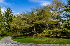 #18 Arbre ( Larix Gmelinii var.Japonica ) (gigichamp) Tags: arbre botanicalgarden canada défie52x52x52 jardinbotanique montreal montréal tree larixgmeliniivarjaponica