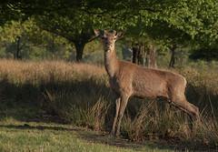 Red-Deer-8092 (Kulama) Tags: reddeer deer stag animals nature wildlife woods bracken fern grass spring morning canon7dmarkii sigma150600563c