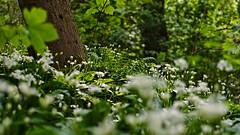 Tief im Grünen / Deep in the greenery (Robert Zebahl) Tags: outdoor nikon d3300 nature natur green grün greenery baum tree plant pflanze farn fern wood holz astoundingimage clarazetkinpark leipzig