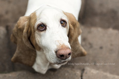 Cookie please (dog ma) Tags: minnie bloodhound dog ma canine k9 cute adorable jodytrappephotography nikon d750 nikkor 50mm outdoors overcast