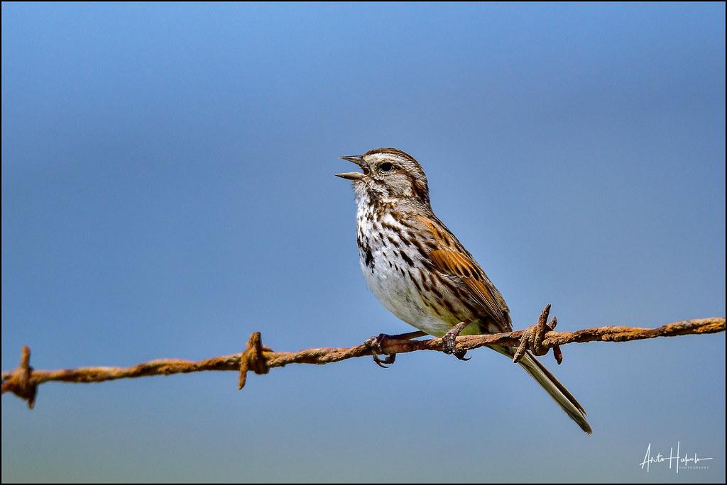 balancing bird template - the world 39 s best photos of california and passeriformes