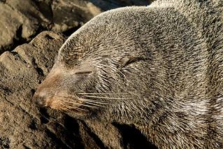 20170507_6160_7D2-200 Head study of a sleeping New Zealand Fur Seal