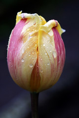 spring (wistine) Tags: tulip spring frühling raindrops rain 2017 regen tupen