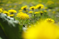 lay down in a dandelion field/タンポポ畑に寝そべって (kurupa_m) Tags: dandelion flower plant sigma dp2merrill spring hokkaido sapporo タンポポ yellow 黄色 macro 北海道 札幌