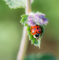 Sleeping Lady. (Omygodtom) Tags: macro elitebugs existinglight insect ladybug lavender bug tamron90mm bokeh green red real park nature natural nikon d7100 dof pov may spring