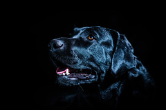 Molly 2 (James Jacques) Tags: sony a7 50mm dog fur black background pet animal eyes brown shine labradour