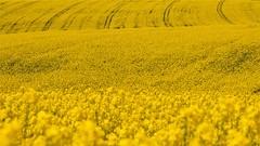 océan jaune (karine_cattier) Tags: 7daysofshooting filltheframe focusfriday printemps colza cmwd jaune smileonsaturday sunnyyellow