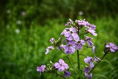 It was National Train Day (builder24car) Tags: mayflowers purple hesperismatronalis damesrocket waterdroplets dof fallsmillsvirginia