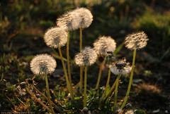Dandelions (Rick & Bart) Tags: ijmuiden thenetherlands sunset nature rickvink rickbart canon eos70d dandelion flower weed