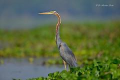 Tall & Handsome.... (Anirban Sinha 80) Tags: nikon d610 500mm f4 ed vr ii n bokeh fx bird heron pose