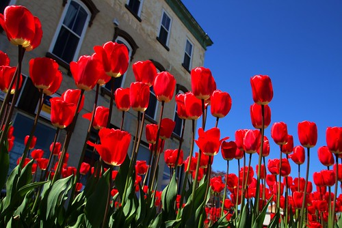 Stratford Ontario ~ Canada ~ Red Tulips ~ Downtown