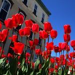 Stratford Ontario  ~ Canada  ~ Red Tulips ~ Downtown thumbnail