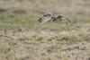 R17_6233 (ronald groenendijk) Tags: cronaldgroenendijk 2017 asioflammeus rgflickrrg animal bird birds birdsofprey groenendijk nature natuur natuurfotografie outdoor owl owls ronaldgroenendijk roofvogels shortearedowl velduil vogel wildlife