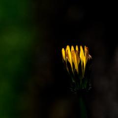 Natureza / Nature (Francisco (PortoPortugal)) Tags: 1122017 20170505fpbo5533 flor flower amarelo yellow natureza nature porto portugal portografiaassociaçãofotográficadoporto franciscooliveira