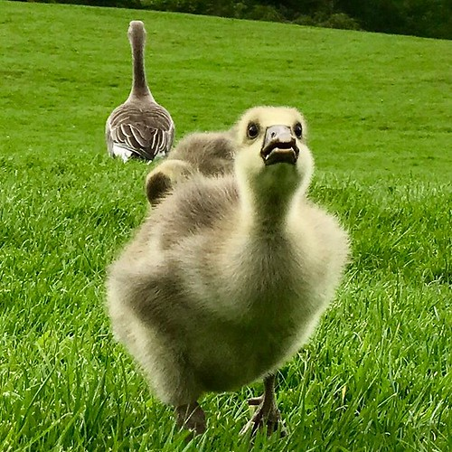 """""""They're flocking this way."""" #gosling #goslings #chartwell #goose #geese #kent"""